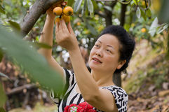 A graceful woman picking loquat Stock Image
