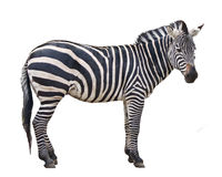 Graceful Zebra Stock Images