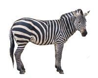 Graceful Zebra. Zebra isolated in white background Stock Images