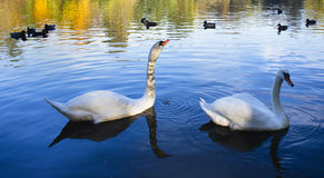 Gracefull swans floating on water Royalty Free Stock Photos