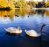 Gracefull swans floating on water Stock Photo