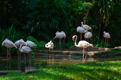 Gracefull white long legged flamingoes in a lush jungle river. Royalty Free Stock Photography