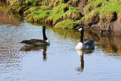 The Nile geese in the park. royalty free stock photo