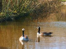 Wild geese on a reservoir. royalty free stock photography