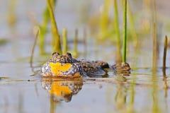 gracidamento Fuoco-gonfiato del rospo nella superficie dell'acqua Fotografie Stock Libere da Diritti