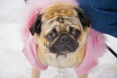 Gracie o Pug Foto de Stock Royalty Free