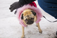 Gracie the Pug Stock Images
