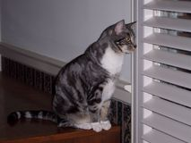 Gracie at the window. My cat Gracie peering out the window Stock Image