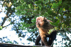 Gracile capuchin monkey. Bolivia Stock Photo