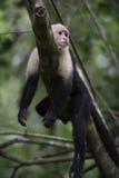 Gracile Capuchin Monkey Royalty Free Stock Image