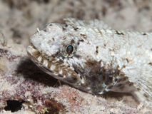 Free Gracile Lizardfish Stock Images - 41318994