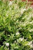Gracilis buske för Deutzia Fotografering för Bildbyråer