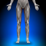 Gracilis - Female Anatomy Muscles Stock Photo