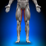 Gracilis - muscoli di anatomia Fotografia Stock