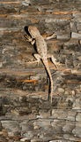 Graciosus di Forest Reptile Sceloporus della lucertola di artemisia dell'animale selvatico Immagini Stock Libere da Diritti