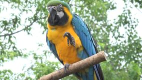Gracious amazing neo tropical macaw genus colorful plumage ara parrot bird with long narrow tail in close up 4k shot. Gracious amazing neo tropical macaw genus stock video footage