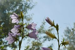Gracious and elegant peach-leaved bellflower Campanula persicifolia. Gracious and elegant peach-leaved bellflower Campanula persicifolia royalty free stock images