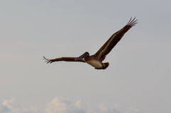 Gracious Pelican flying over Puerto Vallarta, Mexico Stock Photo