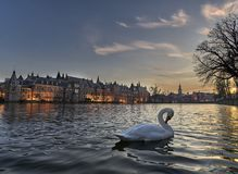 Gracious swan in front of historic building hofvijver Den Haag. A very majestic Swan was carefully taking care of its feathers while floating around in the stock photo