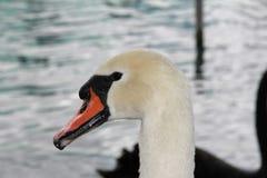 The gracious Swan Royalty Free Stock Photos