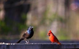 grackle общего cardinal Стоковые Изображения