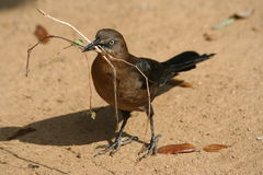 Grackle Stockbild