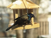 Grackle Fotografia Stock
