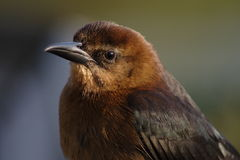 grackle Royaltyfri Foto