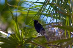 Grackle Lizenzfreies Stockbild