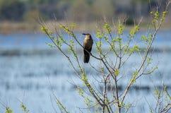 Grackle Barco-atado fêmea, Savannah National Wildlife Refuge fotografia de stock royalty free