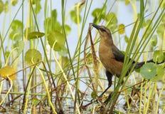 grackle Barco-atado (major do Quiscalus) fotografia de stock