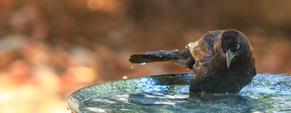 Grackle Bath. Common Grackle sitting in a bird bath with an ominous look Royalty Free Stock Photo