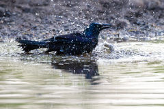 Grackle Bath Stock Photo