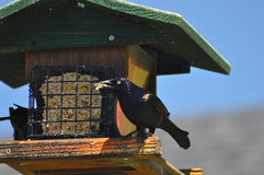 Grackle bird and feeder Stock Photo