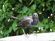 Grackle bird takes over bird bath Stock Image