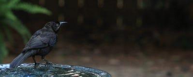 Grackle-birdbath Стоковые Изображения RF
