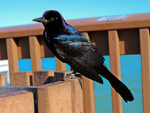 Grackle. Boat-tailed Grackle Quiscalus major Stock Image