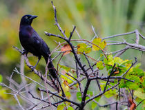 GRACKLE IN THE BUSH. A GRACKLE PERCHED ON THE BRANCH OF A DEAD BUSH Royalty Free Stock Images