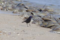 Grackle carrying a beak full of Horseshoe Crab Eggs. Litmus Polyphemis  or horseshoe crabs and Quiscalus royalty free stock photography