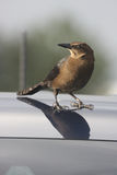 Grackle. Common Grackle photographed  in Seabrook Texas perched atop car hood Stock Photos