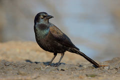 Grackle. A common grackle (Quiscalus quiscula Royalty Free Stock Photos