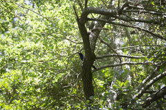 Grackle. Common grackle in a tree Royalty Free Stock Image