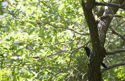 Grackle. Common grackle in a tree Royalty Free Stock Images