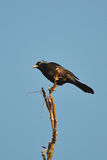 Grackle commun Image libre de droits