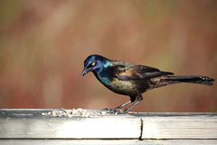 Grackle commun Image stock