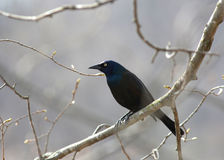 Grackle commun Photographie stock