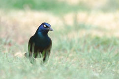 Grackle commun Images stock