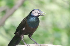 Grackle commun Photos libres de droits
