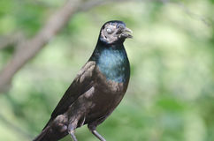 Grackle commun Photo stock