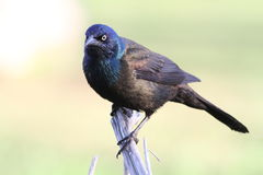 Grackle comum Fotos de Stock Royalty Free